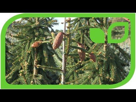Zapfenfichte - Picea Abies Acrocona