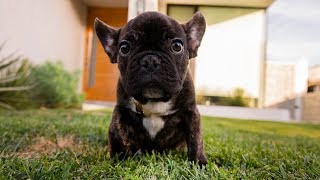 MEET MY NEW PUPPY!! (FRENCH BULLDOG)