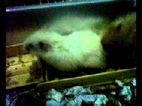 xxx hamster