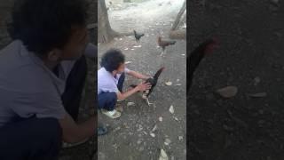 Cara mudah menjinakan ayam jago