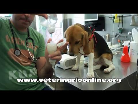 Tratar una neumonia a un perro mediante nebulizacion - Veterinario Online