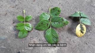 Dấu hiệu bệnh đốm lá vàng lá làm cây hồng rụng lá hàng loạt đầu mùa mưa