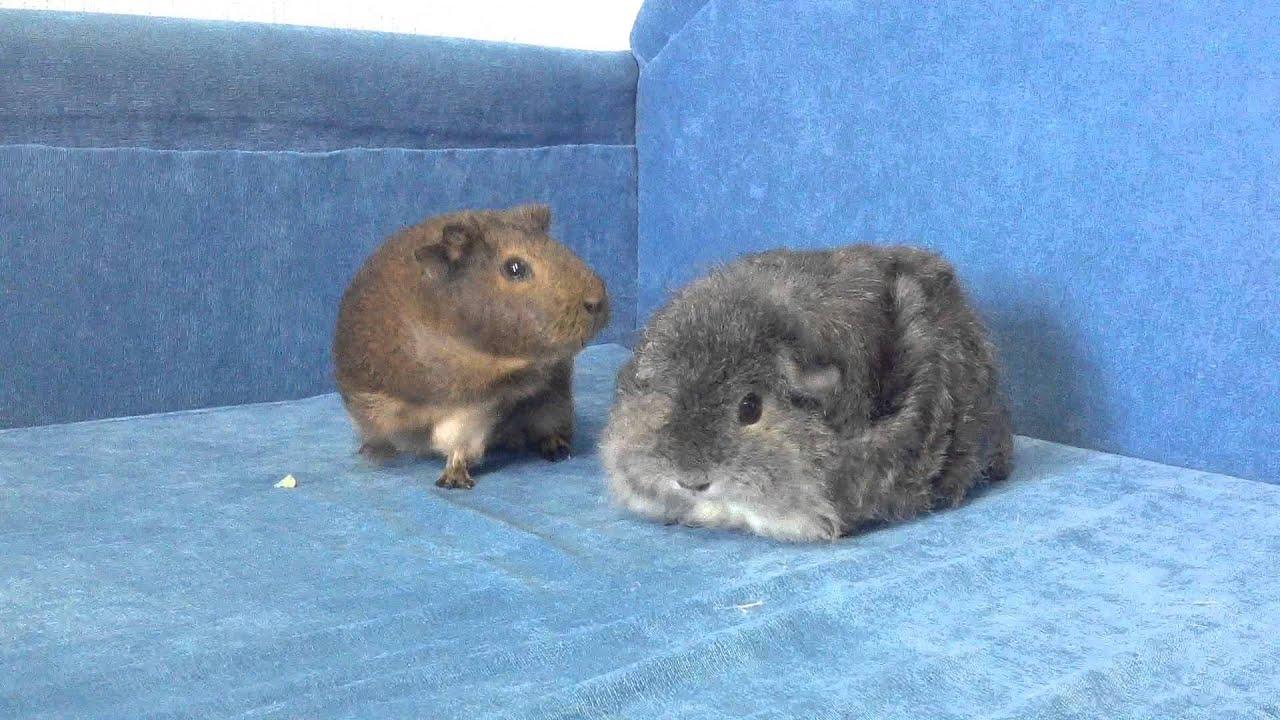 Как дрессировать морскую свинку в домашних условиях