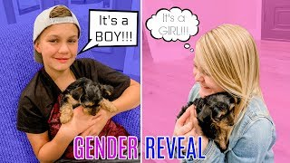 IS IT A BOY OR A GIRL?! Puppy Gender Reveal