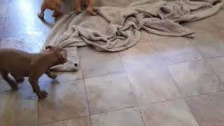 Red nose puppies play