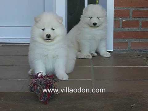Cachorros de Samoyedo de Raffy & Tiffany con 6 semanas de edad