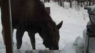 Ky's pet moose 2