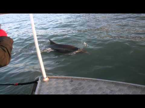 SeaMor Dolphin Watching Boat Trips New Quay Ceredigion