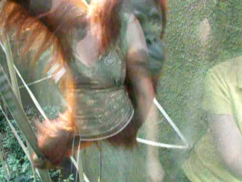 Orangutan Comes To Say Hello