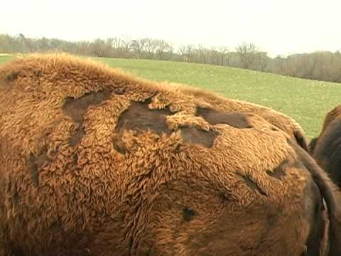 bison бизон