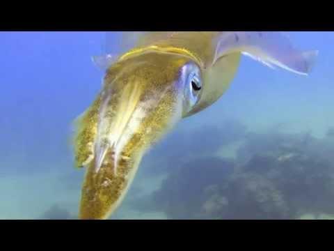 Karibischer Riffkalmar Caribbean reef squid (Sepioteuthis sepioidea)