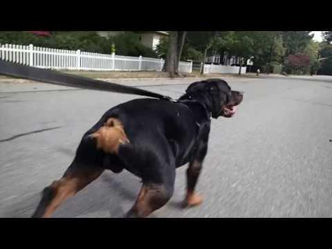 Rollerblading Rottweiler