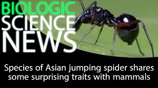 Science News - Species of Asian jumping spider shares some surprising traits with mammals