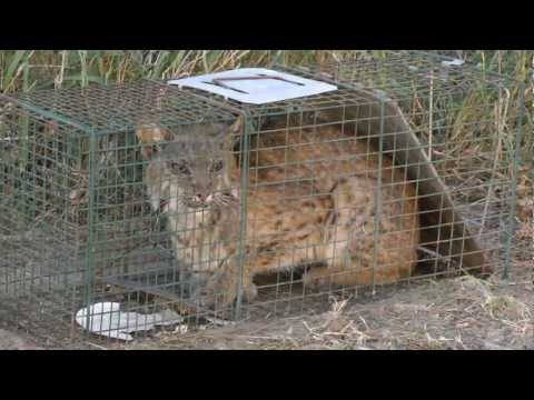 Bobcat caught in a raccoon trap. He escaped just before being released. San Benito Texas 2013-02-17