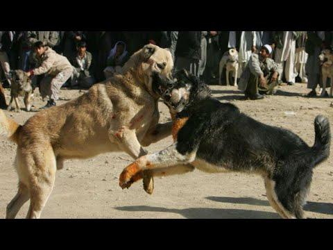 ... Ten Big Bad Guard Dogs - Kangal, Pitbull, Tibetan Mastiff - YouTube