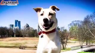 "6 Year Old Labrador Retriever Mix ""Buddy"" Before/After Video   Dog Training Atlanta Georgia"