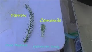 The difference between Chamomile and Yarrow Leaves. How to With Herbs