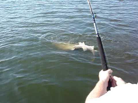 Ken fones jr shark fishing delaware bay nj 8 39 sand tiger for Shark fishing nj