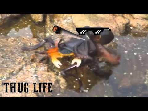 Octopus Eats Crab in Jar Octopus Eats Crab Thug Life
