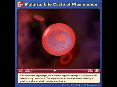 Malaria: Life Cycle of Plasmodium