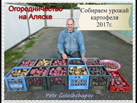 Огородничество. Выпуск #39 - Собираем Урожай Картофеля на Аляске, США.