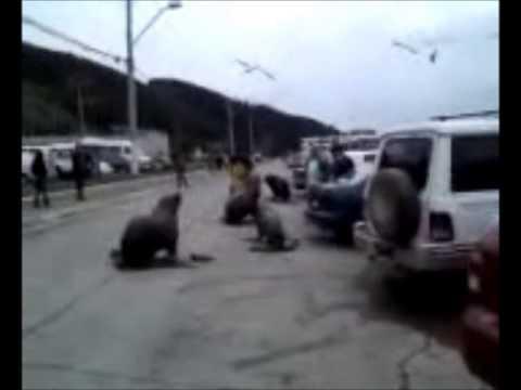 lobos marinos puerto de talcahuano