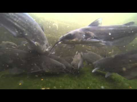 Aquaponics In Plantation Fl Catfish On 300 Gal Stock Tank
