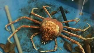 Thumb Un gigante cangrejo cambiando de piel (tendrás pesadillas)