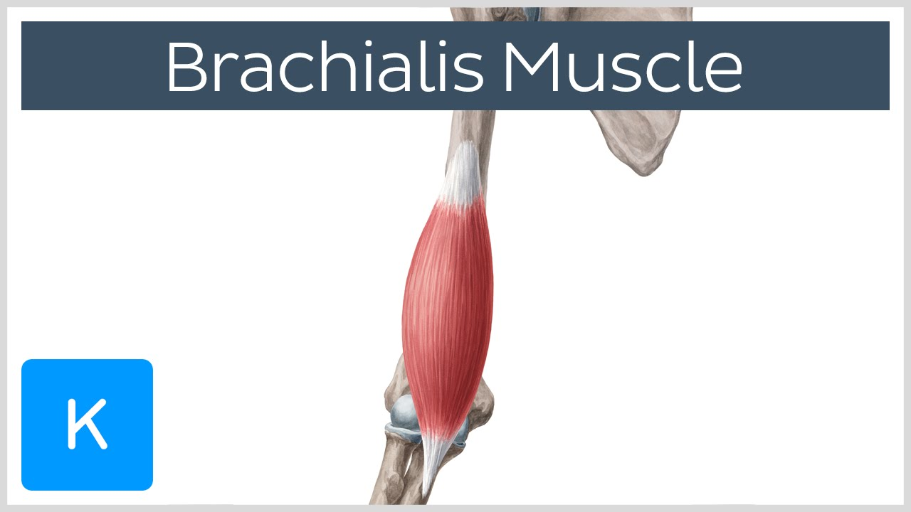Brachialis Muscle - Origin, Insertion, Innervation and ...