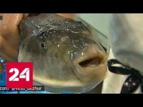 ЧП в Японии: в магазины попала неправильно разделанная рыба фугу - Россия 24