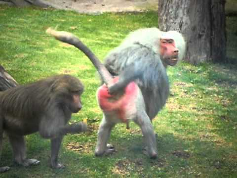 Watch Crazy Baboon Gives the Finger