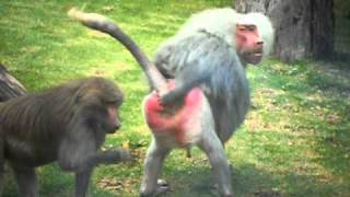 Crazy Baboon Gives the Finger