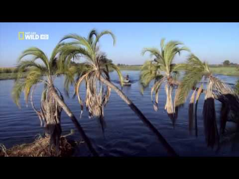 Crocodiles of the Nile River   National Geographic HD