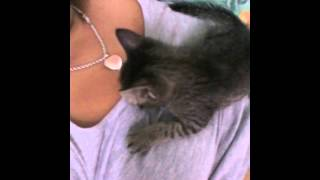Kitten trying to breast milk with human