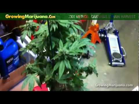Growing Weed - XXX Medical Cannabis Strain Harvest