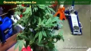 Growing Weed - XXX Medical Cannabis Strain Harvest