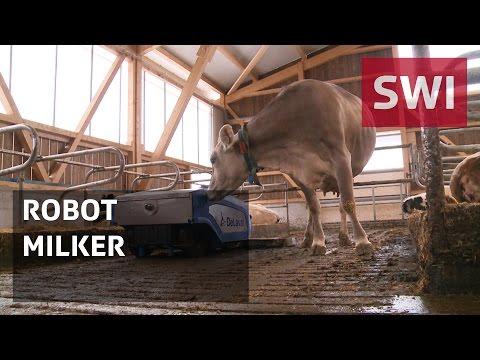 Milking robots improve cows' lives