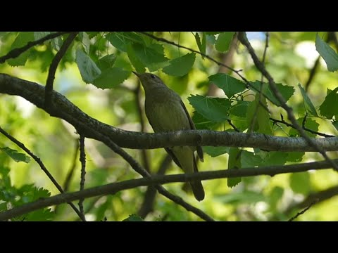 Как поет соловей? Голоса птиц. Nightingale singing. AllVideo.