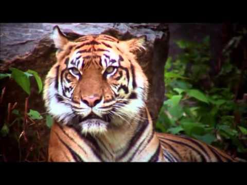 ES211 Video Abstract, Tiger Populations