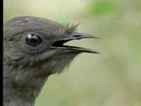 Amazing! Bird sounds from the lyre bird - David Attenborough - BBC wildlife