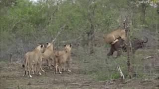 Elephants rescue buffalo mid lion hunt -#safariLIVE