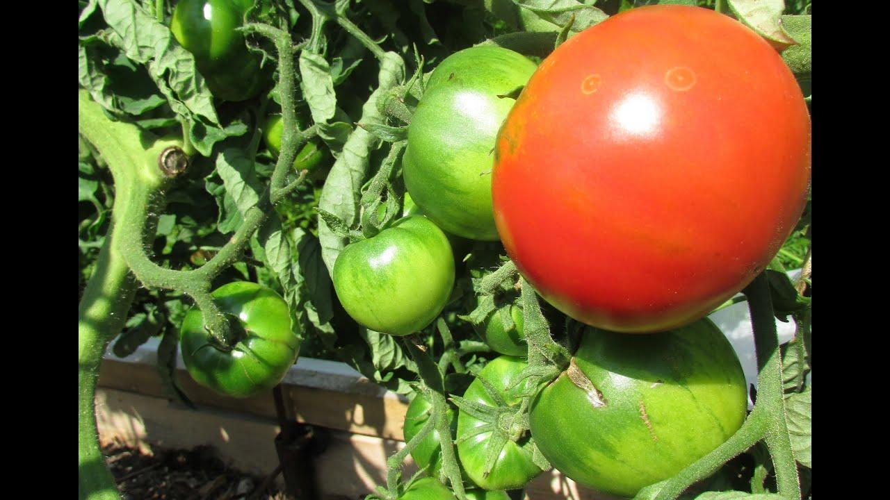 вода купить томаты: умелец подхалим желтая карамель топ-модель серафино гипсокартон представлен несколькими