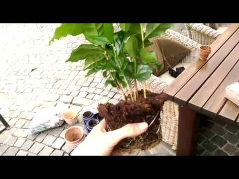 Kaffee Aussaat und die Pflanzen
