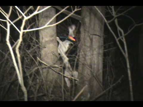 Coon Hunting. Mossie walker treed by himself Barks Great. Video