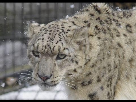旭山動物園のユキヒョウ~Snow Leopard