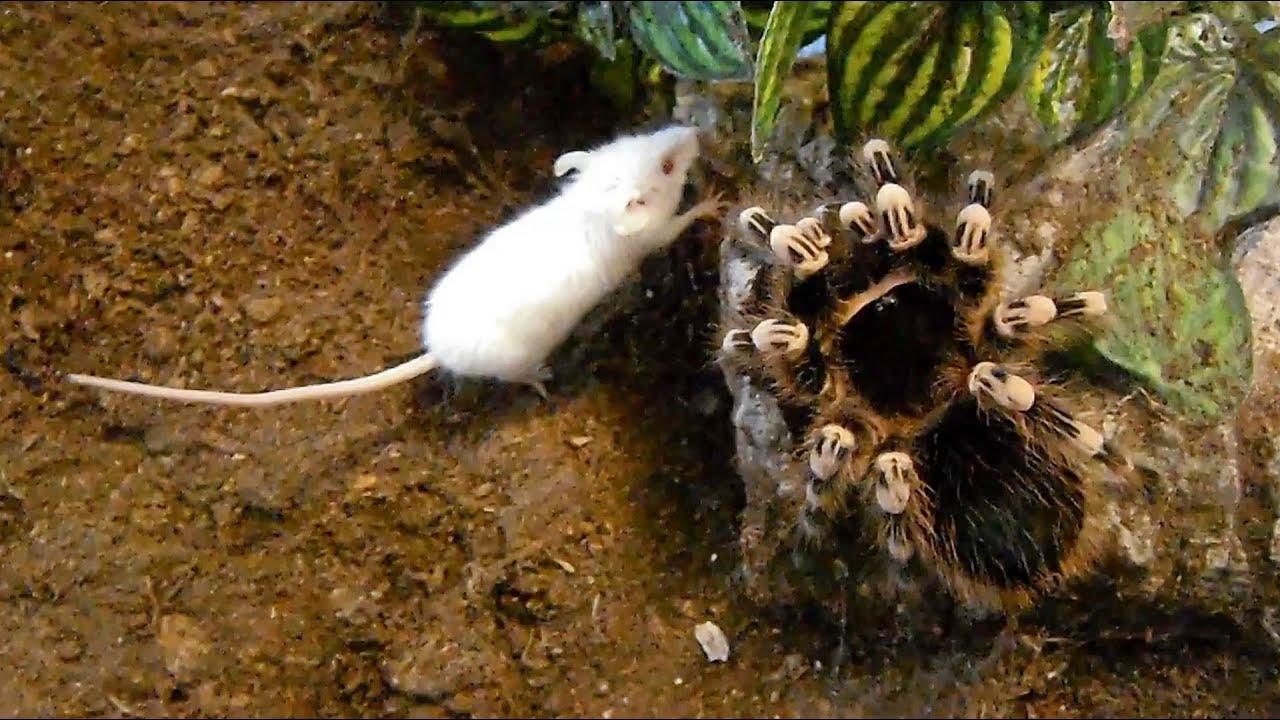 large brutal tarantula kills mouse acanthoscurria geniculata youtube. Black Bedroom Furniture Sets. Home Design Ideas