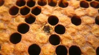 Рождение пчелы. The birth of bees.