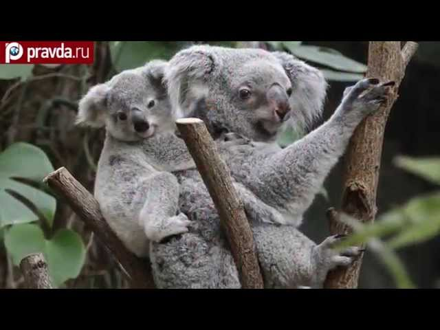 Australian authorities have killed almost 700 koalas
