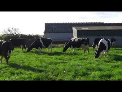 crazy happy cows going out to grass for the first time
