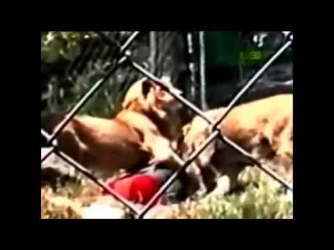Hati2 foto sm macan di kebun binatang.